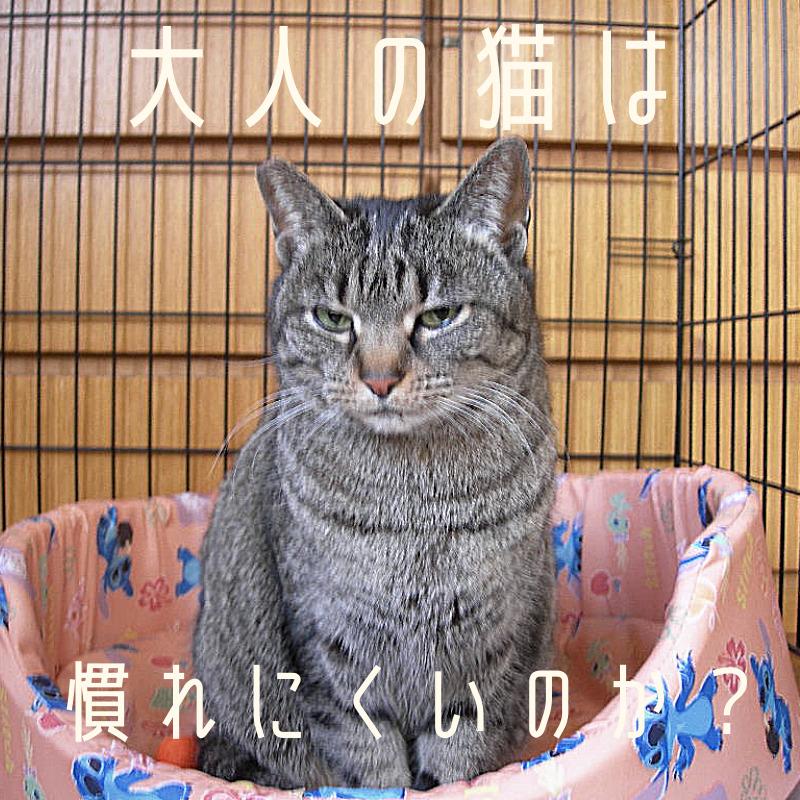 大人猫ec