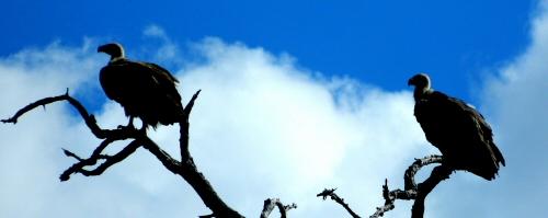 Vultures in Wait