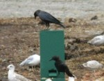 TED: Crows Get a Vending Machine, Soon Will Crave Starbucks