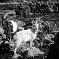mair goats