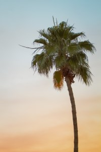A Scottsdale Palm