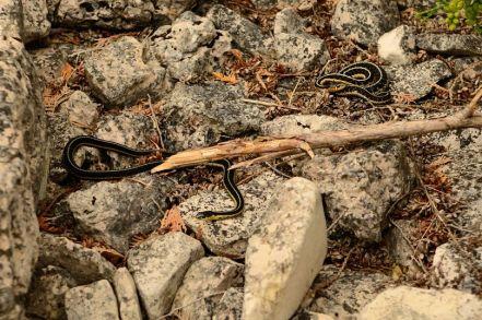 Snakes on Flowerpot Island
