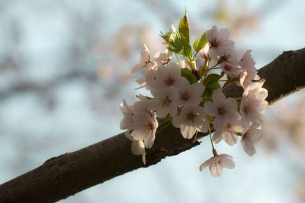 08_blossoms_on_branch