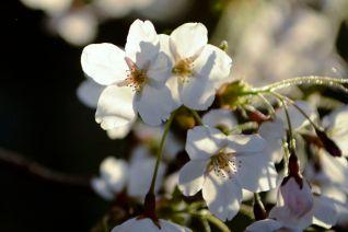 11_blossom