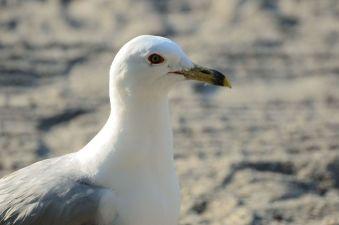 40-seagull_1