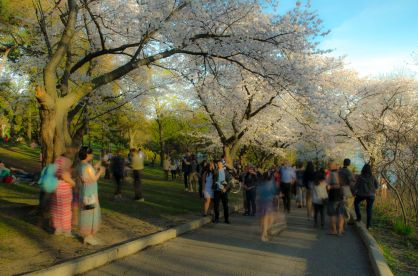 Crowd in High Park with cherry blossoms