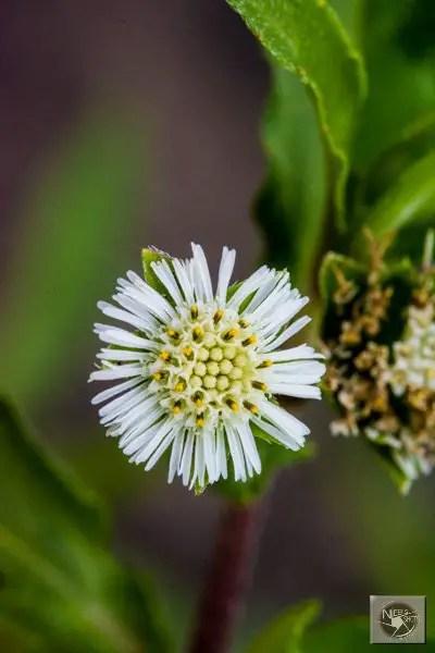 eclipta alba flower