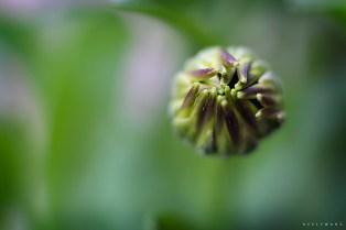 california daisy, osteospermum