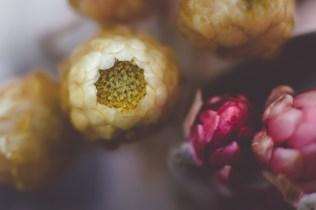 Macro Strawflower | Neely Wang