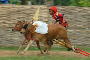 Joki memacu sapi kerapan di Lapangan kerapan sapi Desa Durbuk, Pademawu, Pamekasan, Jatim, Jumat (9/1). Pemkab Pamekasan akan mengajak Badan Koordinator Wilayah (Bakarwil) Pamekasan dan tiga bupati di Madura untuk membicarakan sistem atau kemasan kerapan sapi yang lebih baik sehingga lebih layak jual terutama bagi wisatawan asing. ANTARA FOTO/ Saiful Bahri/ed/ama/15