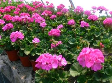 négy-évszak-kertészet-siófok-áruda- (9)