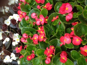 Muskátli-egynyári-virágok-Négyévszak-Kertészet-Siófok (2)