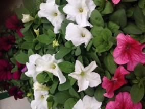 Muskátli-egynyári-virágok-Négyévszak-Kertészet-Siófok (5)