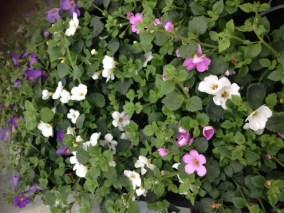 Muskátli-egynyári-virágok-Négyévszak-Kertészet-Siófok (6)