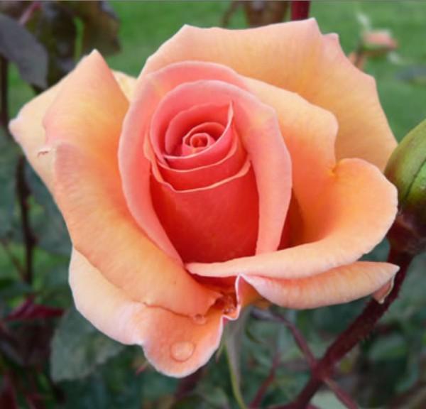 Apricot-Silk-rosa