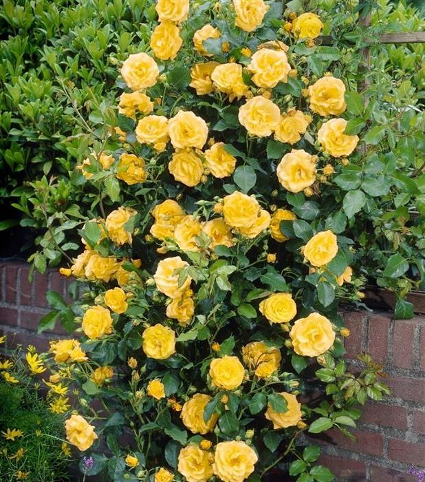 Royal-Gold-rose