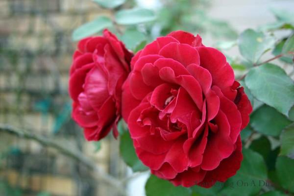 don-juan-rose
