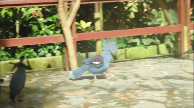 The Crowned Pigeon