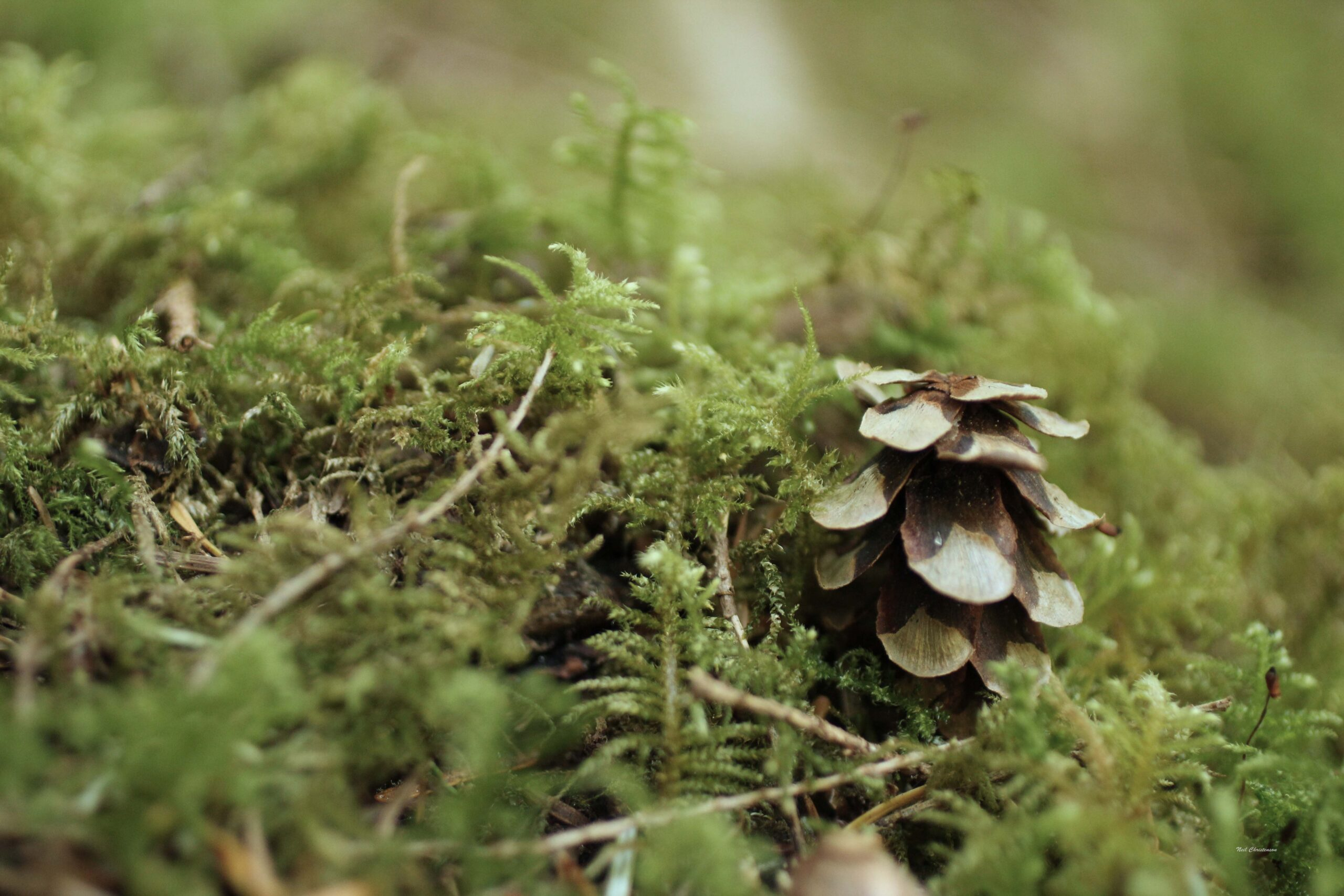 A pinecone sitting on moss.
