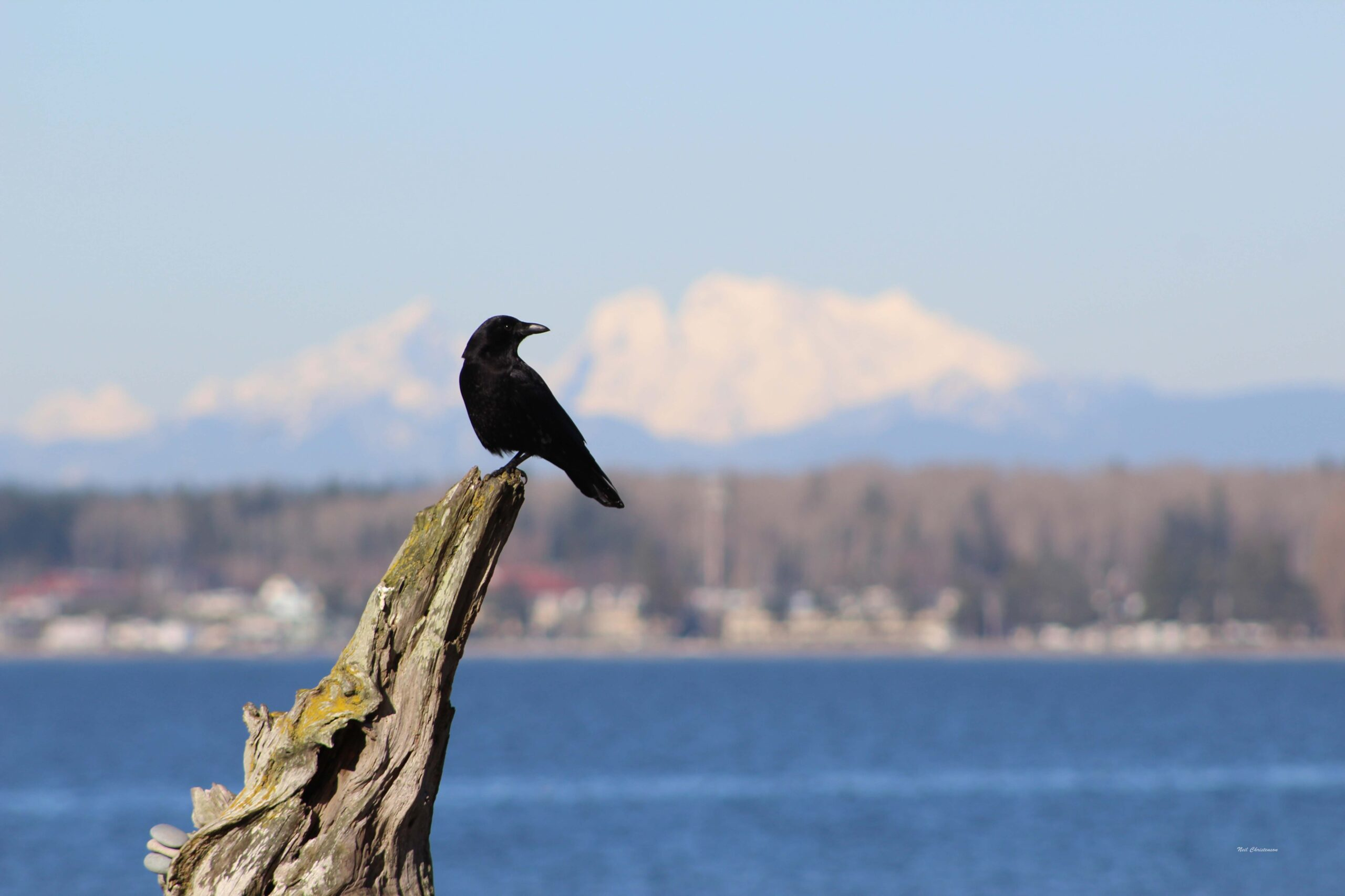 A crow sitting on driftwood with Canadian cascade mountains in the background.