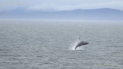 Orca whales breaching near the ferry