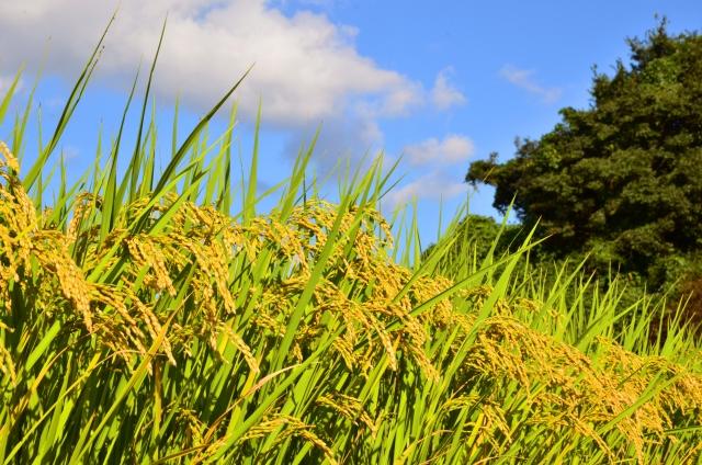 新米はいつからいつまで?地域別の収穫時期と古米の基準と見分け方