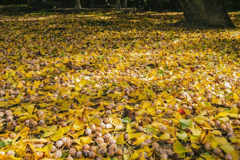 銀杏が臭いのはなぜ?イチョウ並木のにおいの原因と理由とは?