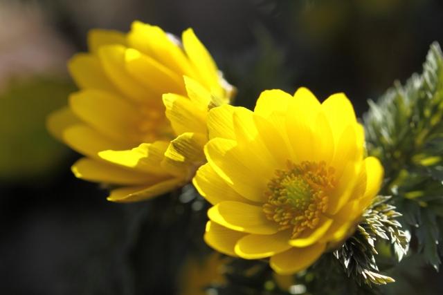 福寿草の名前の由来は?縁起のいい花言葉が悲しい思い出になる理由!