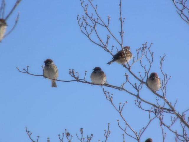 冬の雀がかわいいのはなぜ?ふくらすずめが縁起物とされる理由とは?