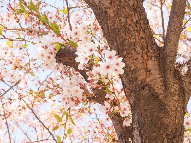 桜の木に毛虫が発生する時期は?刺された時の応急処置 体験談もご紹介!