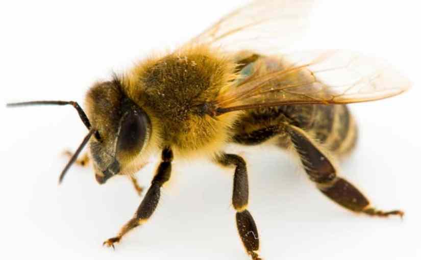 Bijen en steenuilen