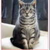 SMAP稲垣吾郎の猫の種類はロシアンブルーとアメリカンショートヘア?