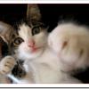 猫が喉をゴロゴロ言わないのは病気?鳴らす意味は?