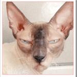コーニッシュレックスの値段や性格と飼い方は?ビルスのモデル猫?