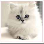 ペルシャ猫の値段と性格や飼い方は?人気はチンチラと黒ペルシャ?