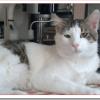 猫イジアンの値段と性格と飼い方は?水も平気なギリシャの新猫種?