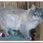 猫オイイーボブの値段と性格や飼い方は?マウンテンボブとの違いは?