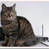 猫ドラゴンリーの値段と性格と飼い方は?茶色のトラ柄が特徴!