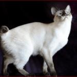 メコンボブテイルの値段と性格や飼い方は?シャム猫との違いは?