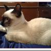 猫トイボブの値段と性格と飼い方は?小さな体と短い尻尾が特徴!