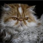 猫のノミダニを退治する方法や薬のおススメは?安全性や注意点は?