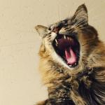 命の危険もはらむ猫の歯周病予防の方法と歯周病チェックリスト
