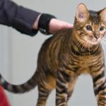[猫のトラ柄大辞典]性格や飼いやすさってどんな感じ?種類やトラ模様の品種は?