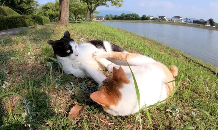 プロレスごっこをする猫