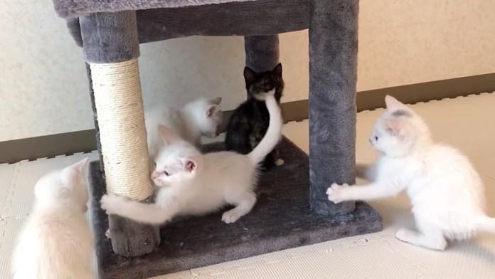 キャットタワーに大はしゃぎの子猫達