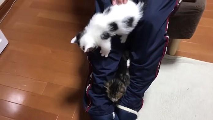 膝から降りる子猫達