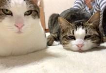 崩れた香箱座りをする猫