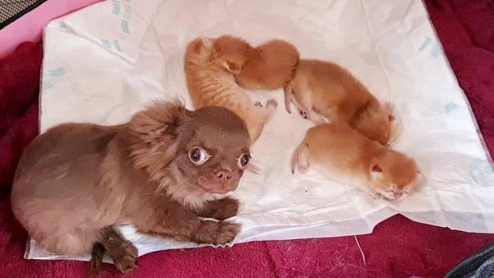 子猫達を守る犬のベビーシッター