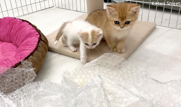 プチプチを見る子猫達