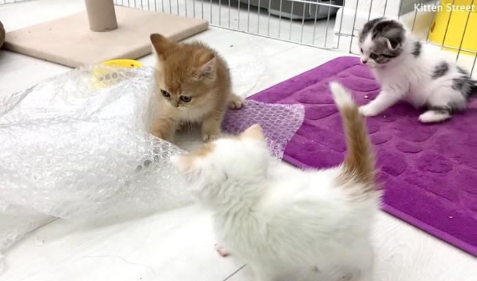 プチプチで遊ぶ子猫達